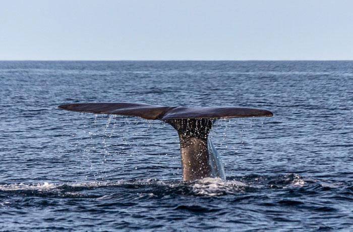 マッコウクジラ捕獲禁止で始まった本格的なホホバ栽培